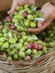Olive e Olio Agriturismo Umbria Castiglione del Lago Perugia confine Toscana